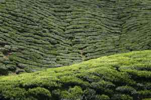 Tea Plantation in Cameron Highlands