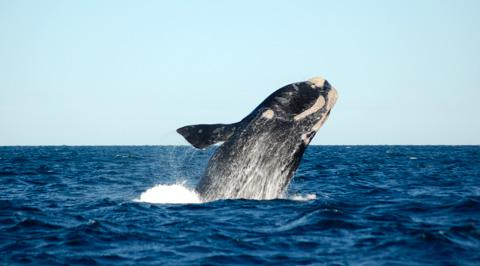 Whale watching in Puerto Madryn, Argentina