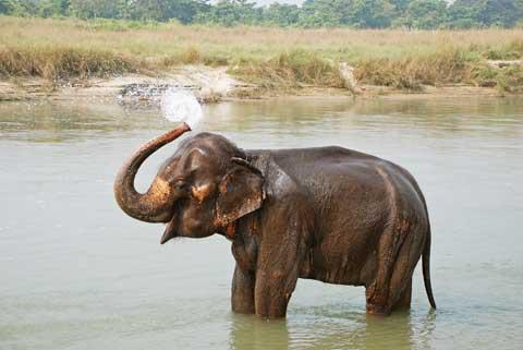 An Elephant in Royal Chitwan National Park, Nepal