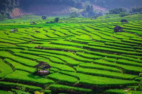 Rice Fields near Chiang Mai