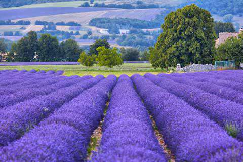 Lavender fields in Provence in September