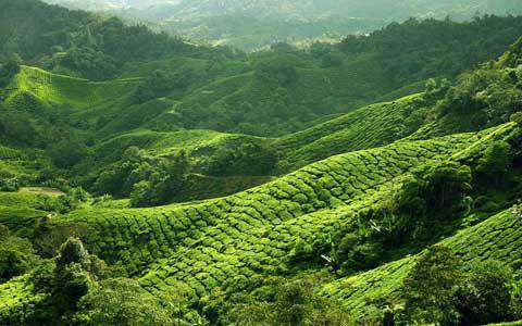 BOH Tea Plantation, central Malaysia