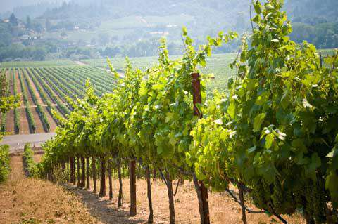 The vinyards of Napa Valley, California